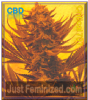 Emerald Triangle Critical 707 CBD Female 5 Seeds